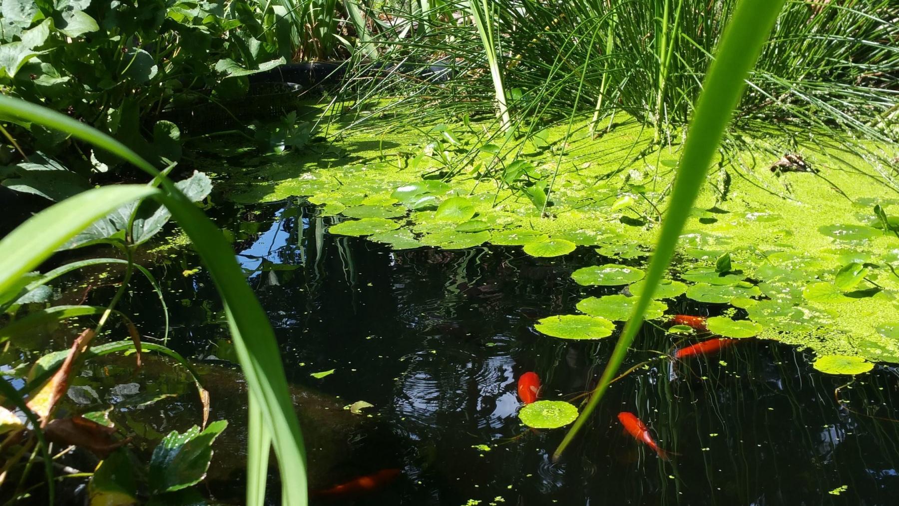 Ausschnitt vom Teich mit Goldfischen